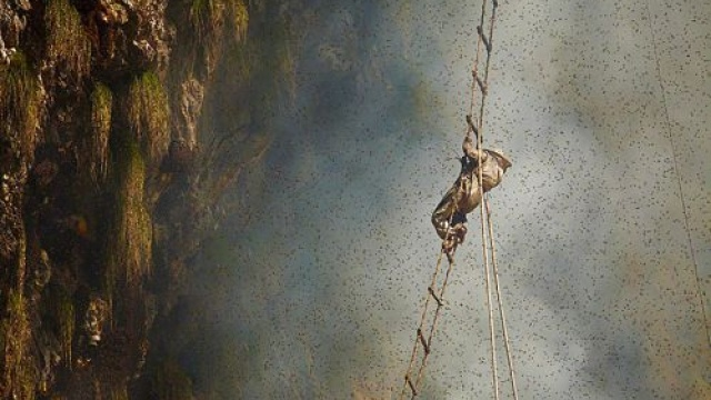 尼泊尔采蜜人!喜马拉雅峭壁上的生命舞者