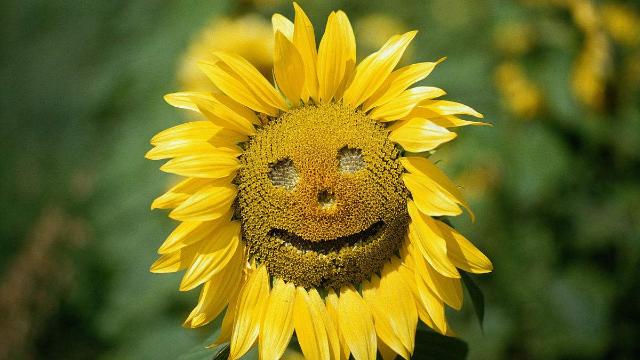 道德吗?百亩向日葵盛开,被人抠成笑脸图案