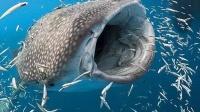 女子海底遇到大嘴鲨鱼