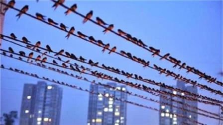 迁徙的鸟儿停在电线上休息,准备起飞时却发生意外,太惨了!