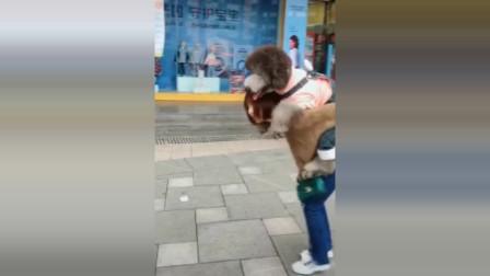 美女街上遇到巨型泰迪,硬要背它,结果这动作尴尬了!