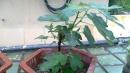 蟹爪兰长壳壳虫怎么处理图片