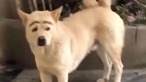 笑哭!化妆狗似蜡笔小新