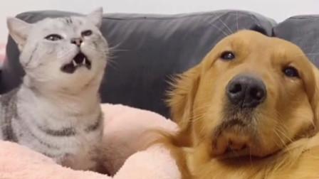 一只把自己当成土狗的猫咪,还要唱歌给金毛听