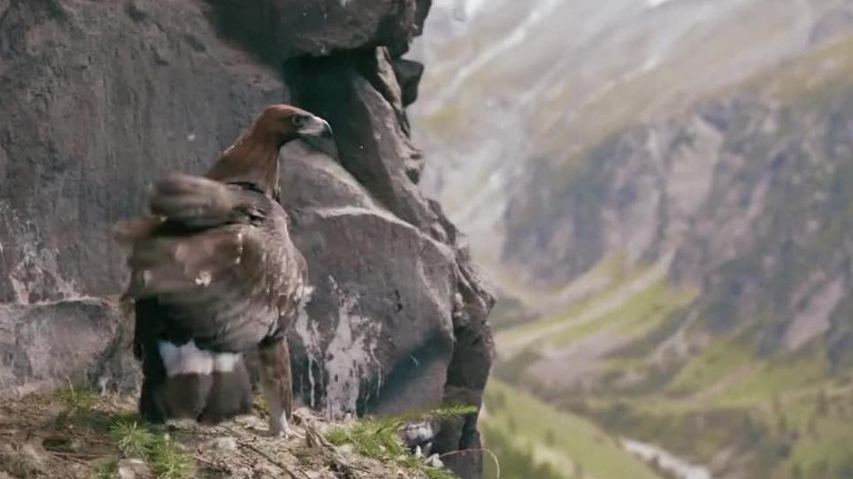 【追鹰日记】孤单少年妙招训鹰 绝美阿尔卑斯山风景了解一下